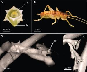 A. cadetii y polinizador Glomeremus sp.