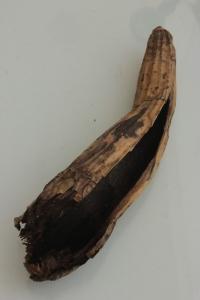 Pseudobulbo de Myrmecophila