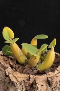 Myrmecophila tibicinis [Bateman] Rolfe 1917